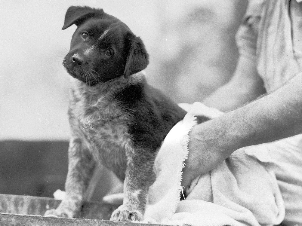 Australian_Cattle_Dog_puppy_mascotb