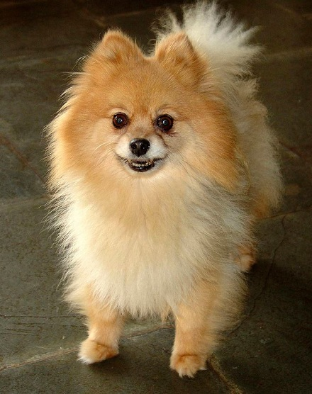 Pomeranian Haircut Show cut