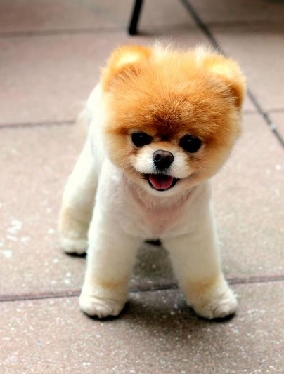 Boo the Pomeranian Worlds cutest dog has millions of