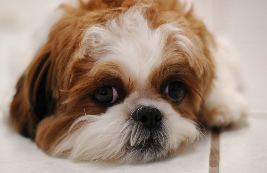 All About Shih Tzu Grooming And Costs Petcarepricingcom