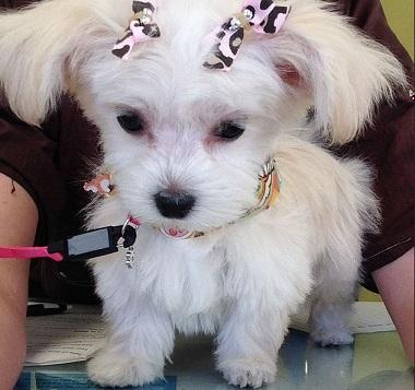 yorkie puppy cut