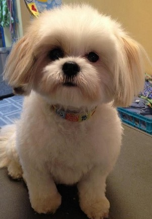haircuts for shih tzus shih tzu haircuts petcarepricing 2126