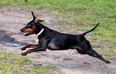 Minature Pinscher Low Maintenance