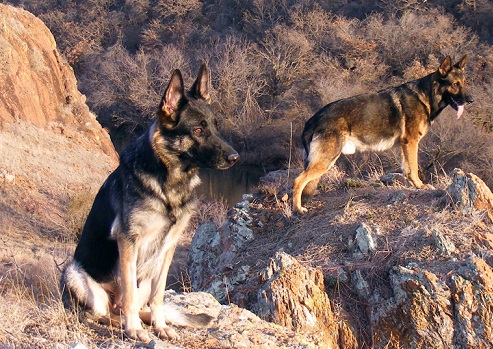 german shepherd guard dogs