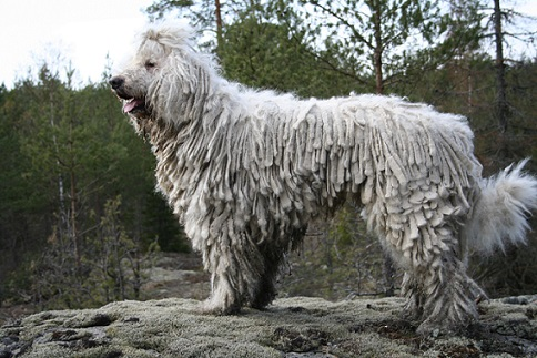 komondor guard dog