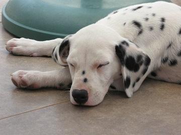 Dalmatian Puppy sleep on time
